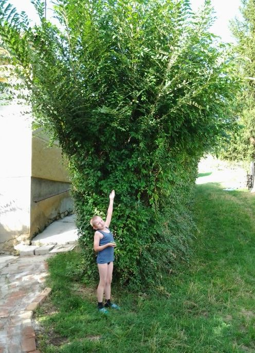 Fast Growing Hedges